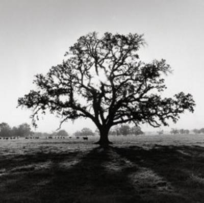 Ansel Adams Oak Tree Sunrise