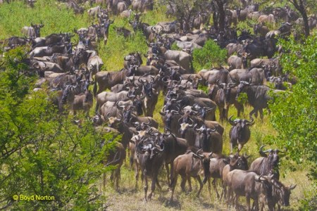 wildebeest close to proposed road