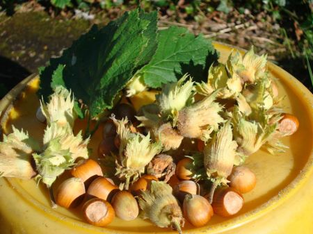 hazelnuts last autumn from my garden