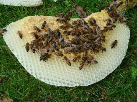 bees scavenging a fallen honeycomb for honey