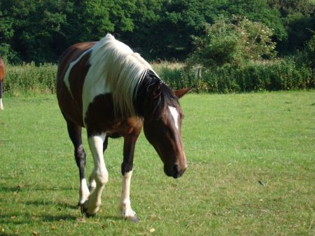 horse grazing in adjacent field