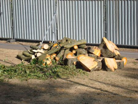 healthy trees reduced to a pile of logs