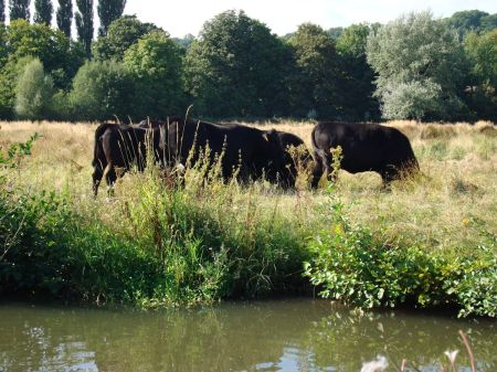 cattle grazing in water meadows