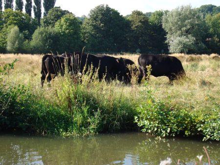 cattle grazing in water meadows