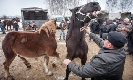 Horses at the annual market in Skaryszew, in Poland. How Polish horse meat ended up in Northern Ireland labelled as beef has not been fully explained yet