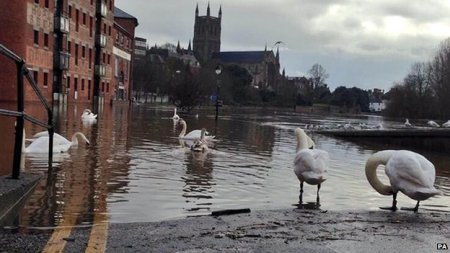 Swans wander down a flooded street in Worcester