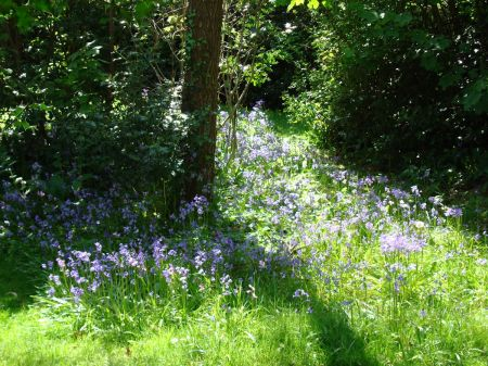 bluebells in woodland glade