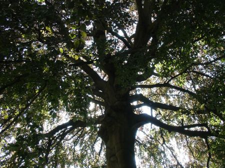 tree with spreading branches providing much needed shade