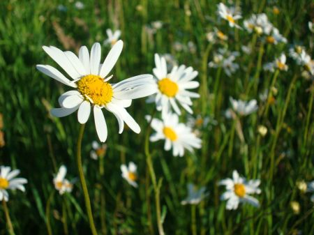 field daises