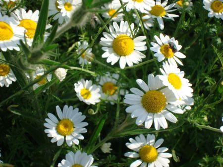 field daisies in Bishop's Meadow