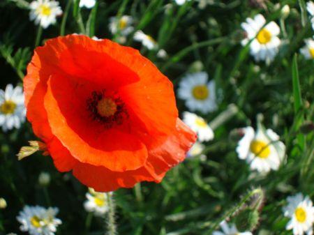 field poppy in Bishop's Meadow