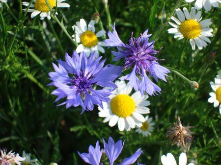 corn flower in Bishop's Meadow