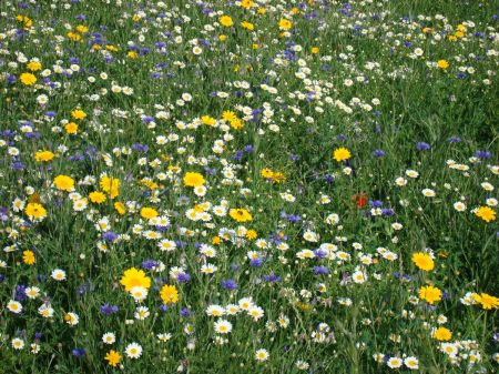 wild flowers in Bishop's Meadow