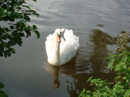 swan on the River Wey