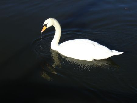 swan on River Wey