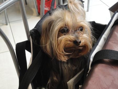 un perro en un bolso de mano