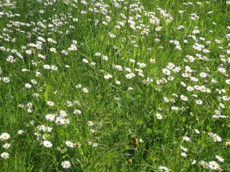 lawn carpeted with daisies