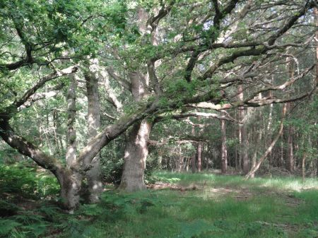 oak and Scots pine in open woodland
