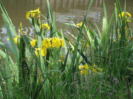 Yellow Iris or Yellow Flag