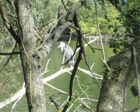 Heron at Kings Pond