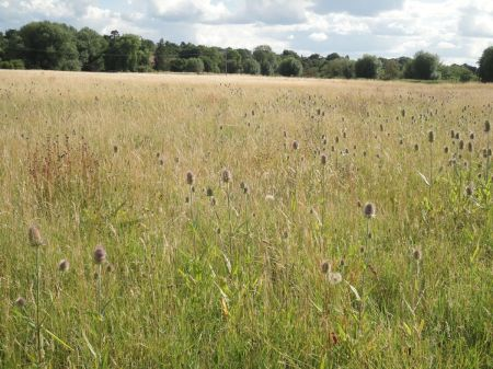 Manor Field carpeted with teasels
