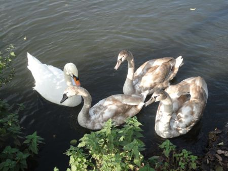 swan and Cygnets on River Wey