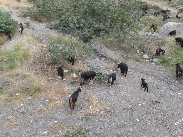 herd of goats walking up a dry river valley